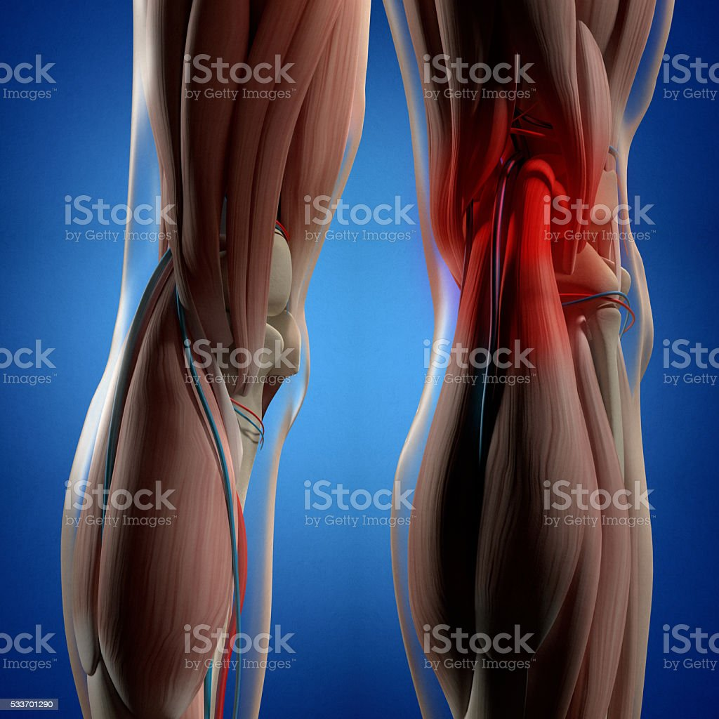 Human anatomy. Back of legs, calf muscles, knees, 3d illustration. stock photo