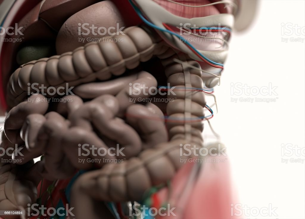Human anatomy body. Muscular, skeletal, vascular & nervous system. stock photo
