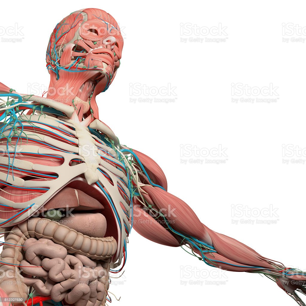 Human anatomy chest, torso, muscle, intestine. Low angle,white background. stock photo