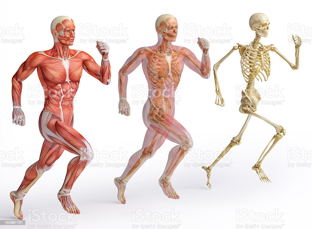 Human anatomy diagrams showing muscle and skeletal systems stock photo