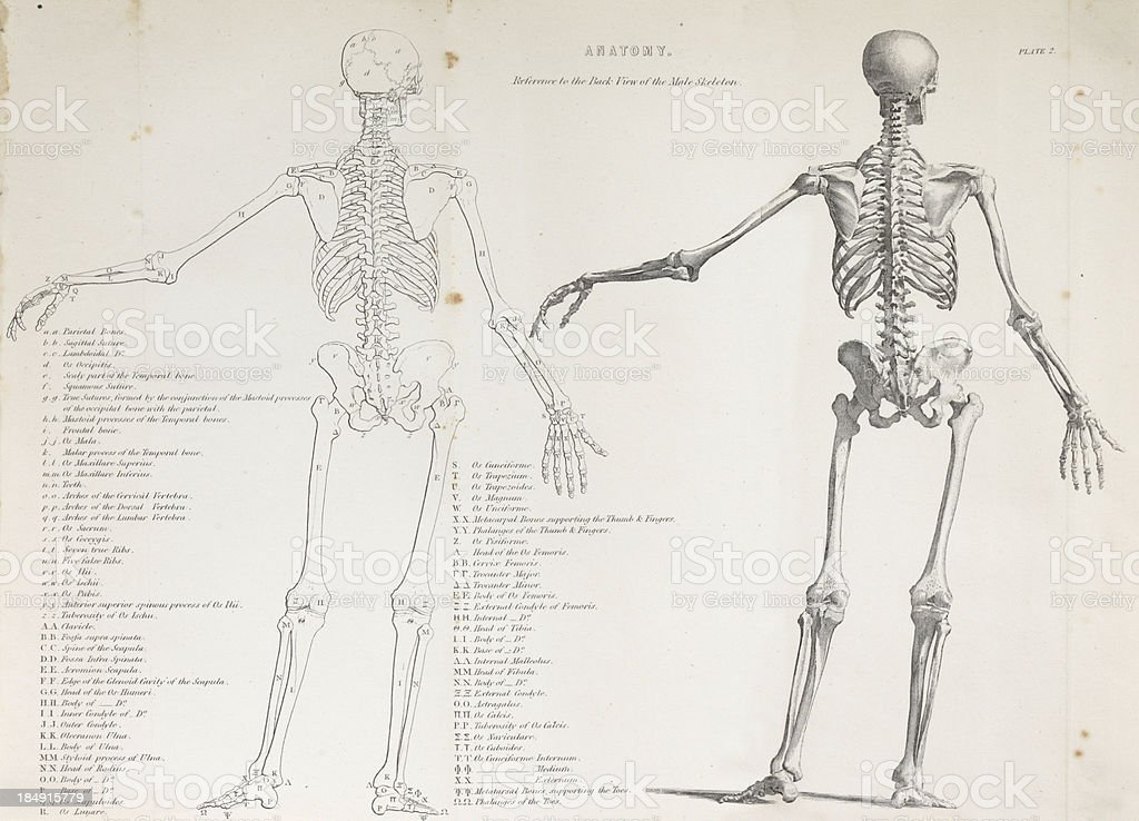 human anatomy, historic illustration, 1849 royalty-free stock photo