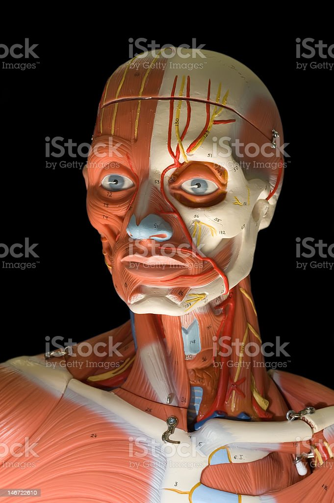 Human anatomy - male model showing muscle system royalty-free stock photo