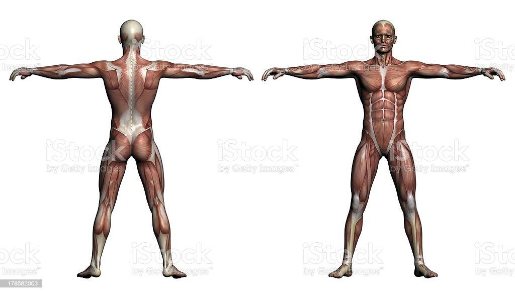 Human Anatomy - Male Muscles stock photo