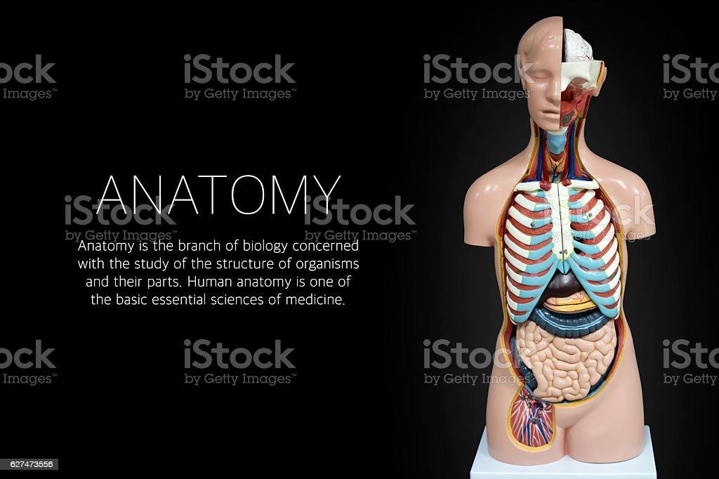 Human anatomy mannequin on black background stock photo