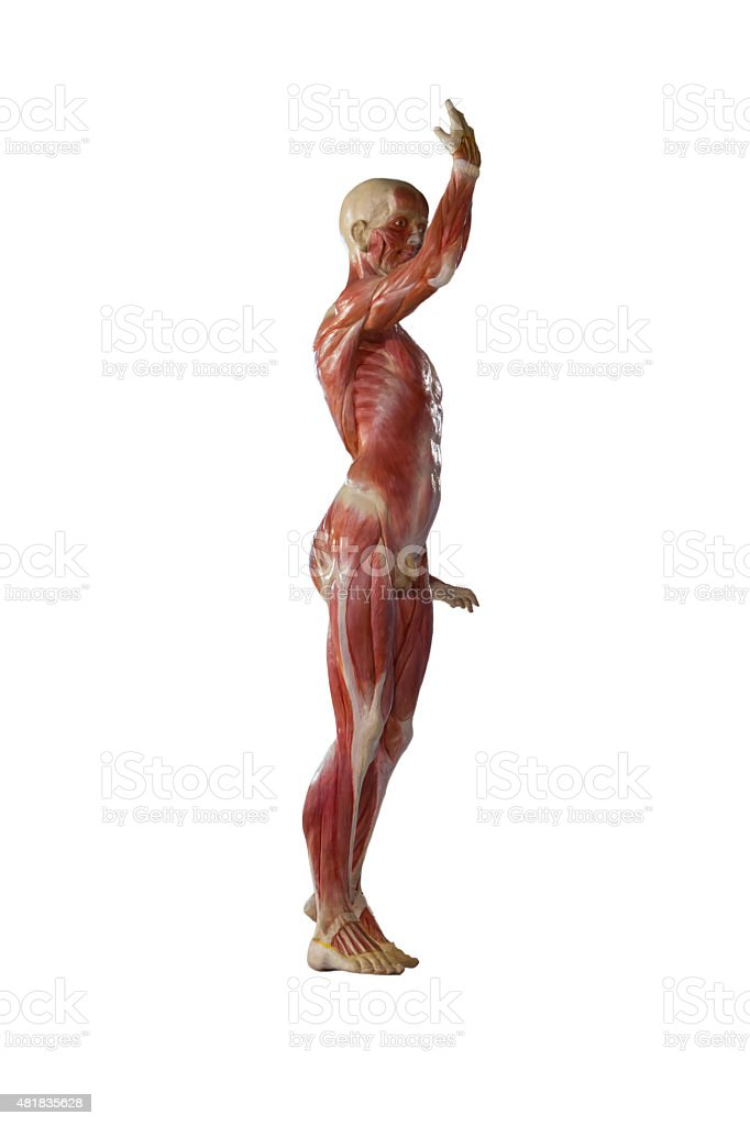 Human anatomy mannequin on white isolate background. stock photo