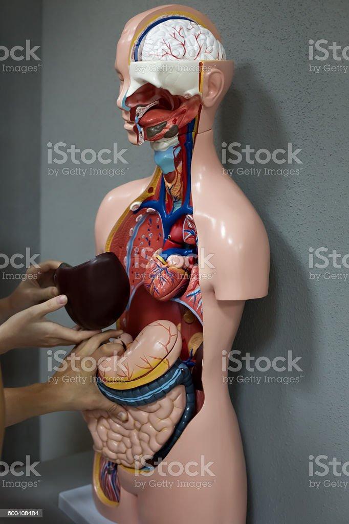 Human anatomy mannequin stock photo