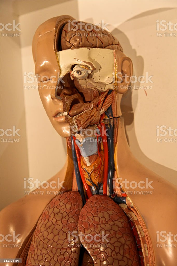 Human Anatomy Model Cross Section stock photo