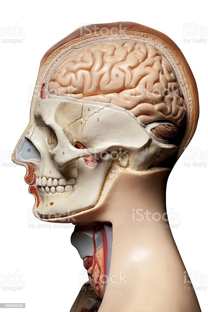 Human anatomy model royalty-free stock photo
