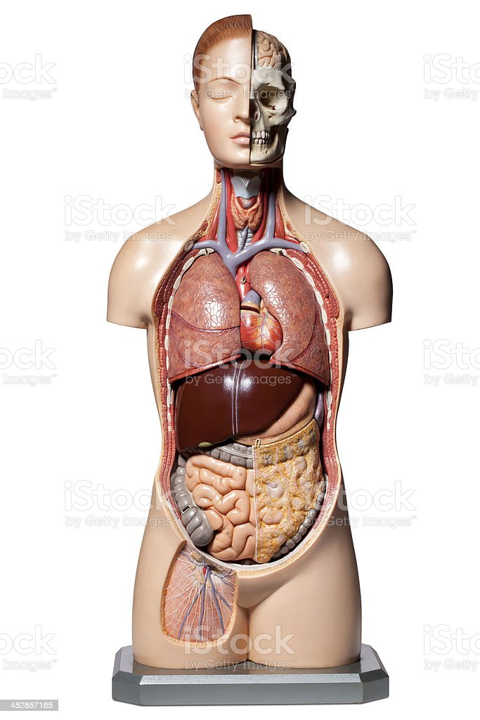 Human anatomy model stock photo