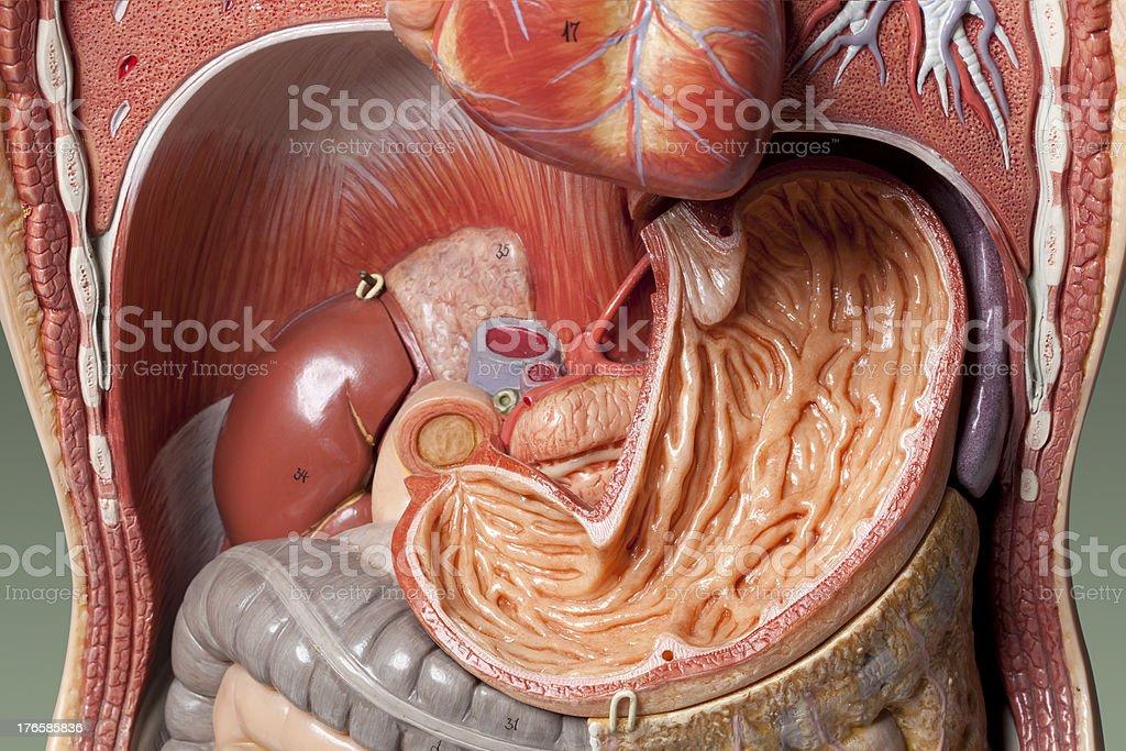 Human anatomy model. Stomach. stock photo
