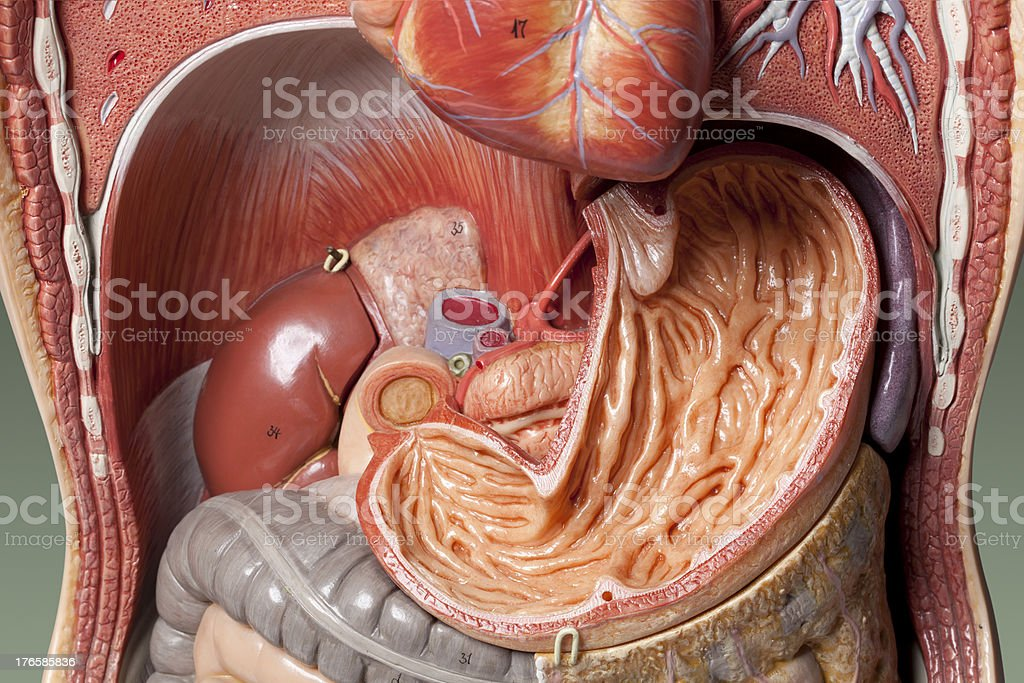 Human anatomy model. Stomach. stock photo