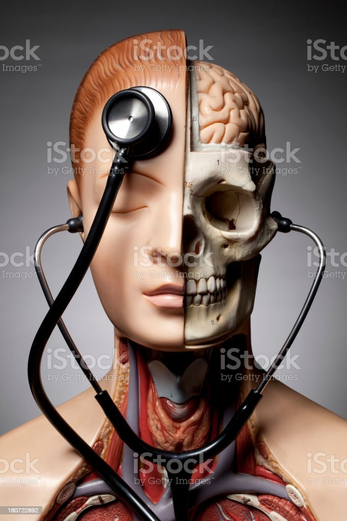 Human anatomy model with stethoscope stock photo