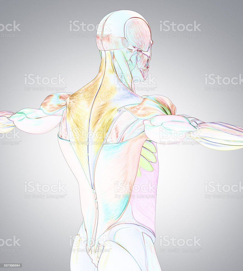 human anatomy muscle groups muscle layout locationdifferent colors, Muscles