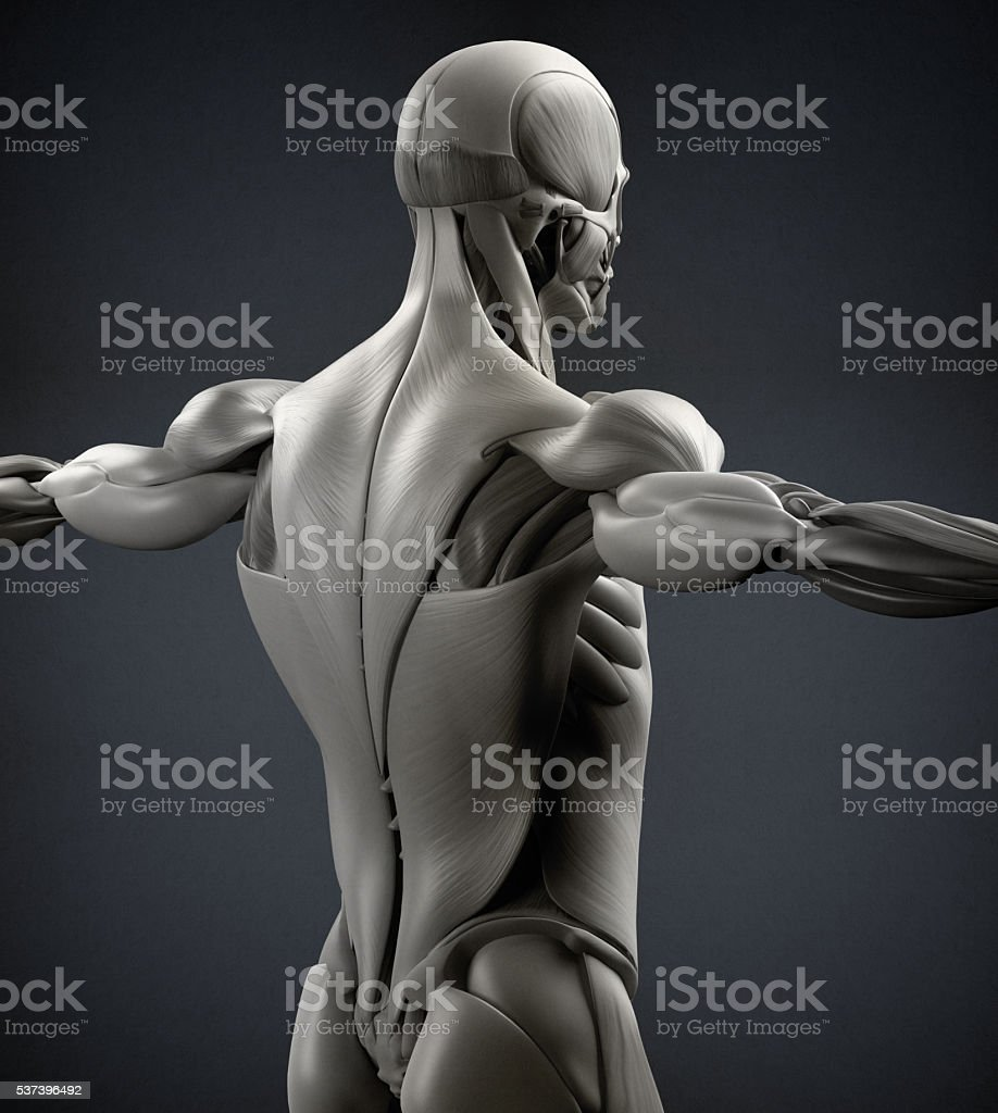Human anatomy muscle groups. Muscle layout  location,different colors. stock photo