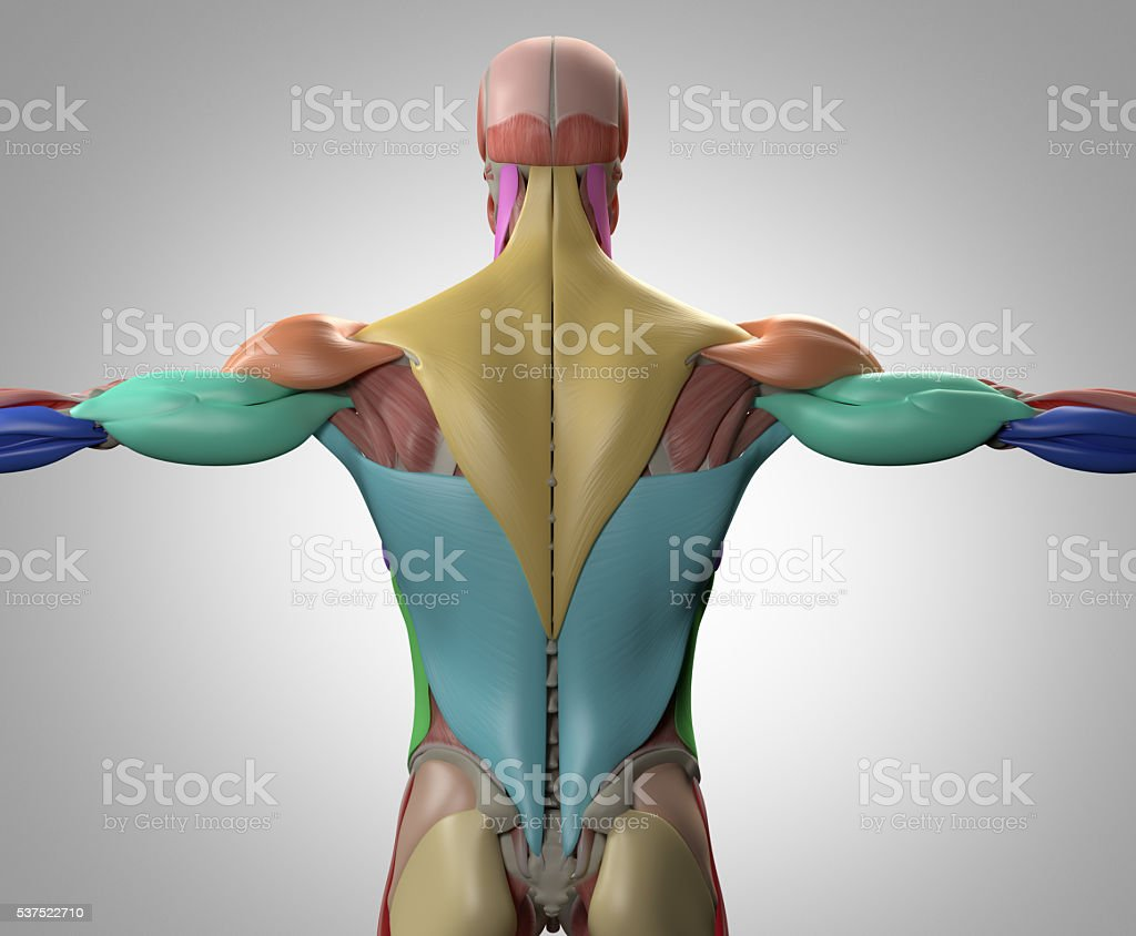 human anatomy muscle groups torso back 3d illustration stock photo, Muscles