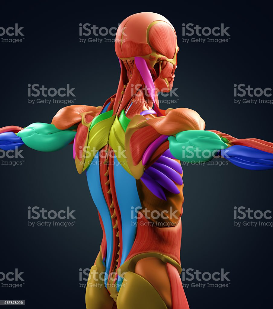 human anatomy muscle groups torso back color coded 3d illustration, Muscles
