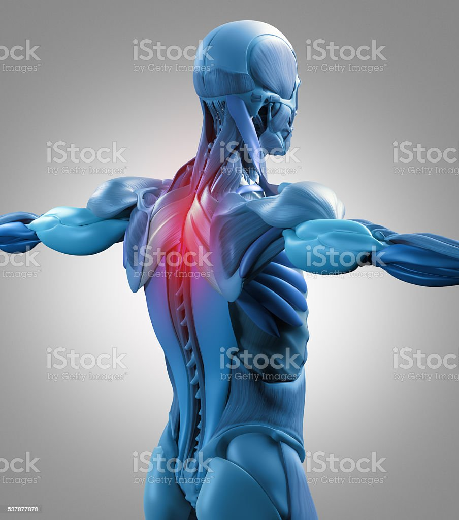human anatomy muscle groups torso back pain 3d illustration stock, Muscles