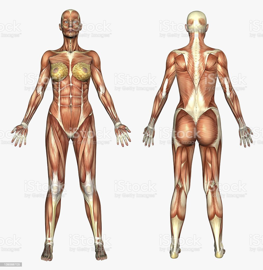 Human Anatomy - Muscle System  Female stock photo