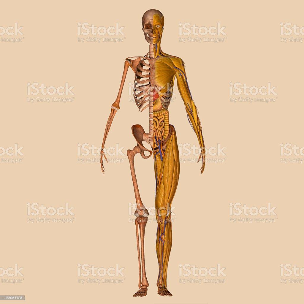 Menschliche Anatomie Muskeln Stockfoto 465984428 | iStock