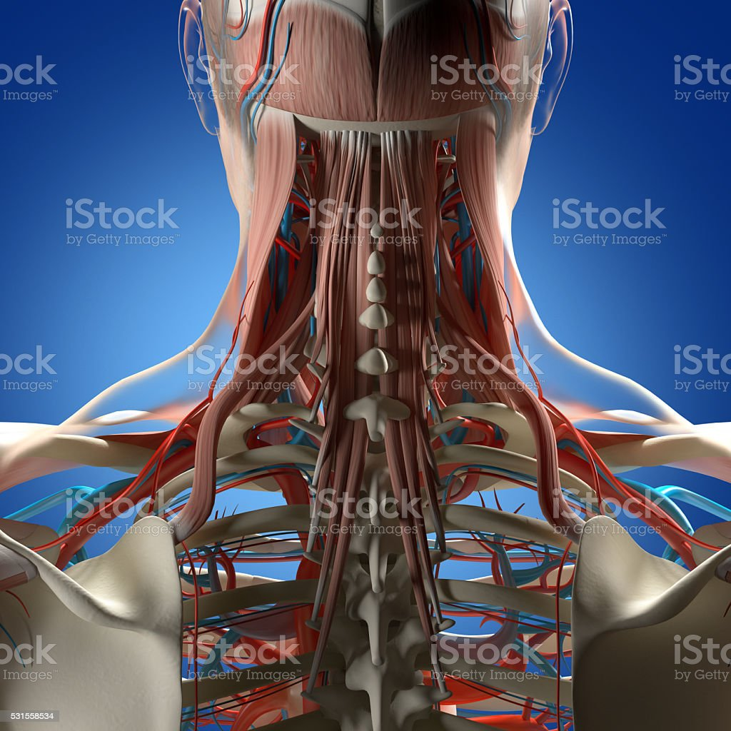 Human anatomy, neck and spine 3d illustration. stock photo