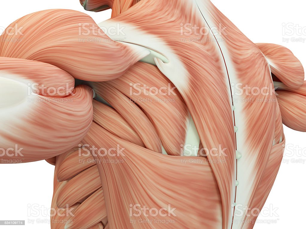 Human anatomy shoulder and back. 3d illustration. stock photo