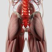 Human anatomy, spine, pelvis and gluteus maximus.