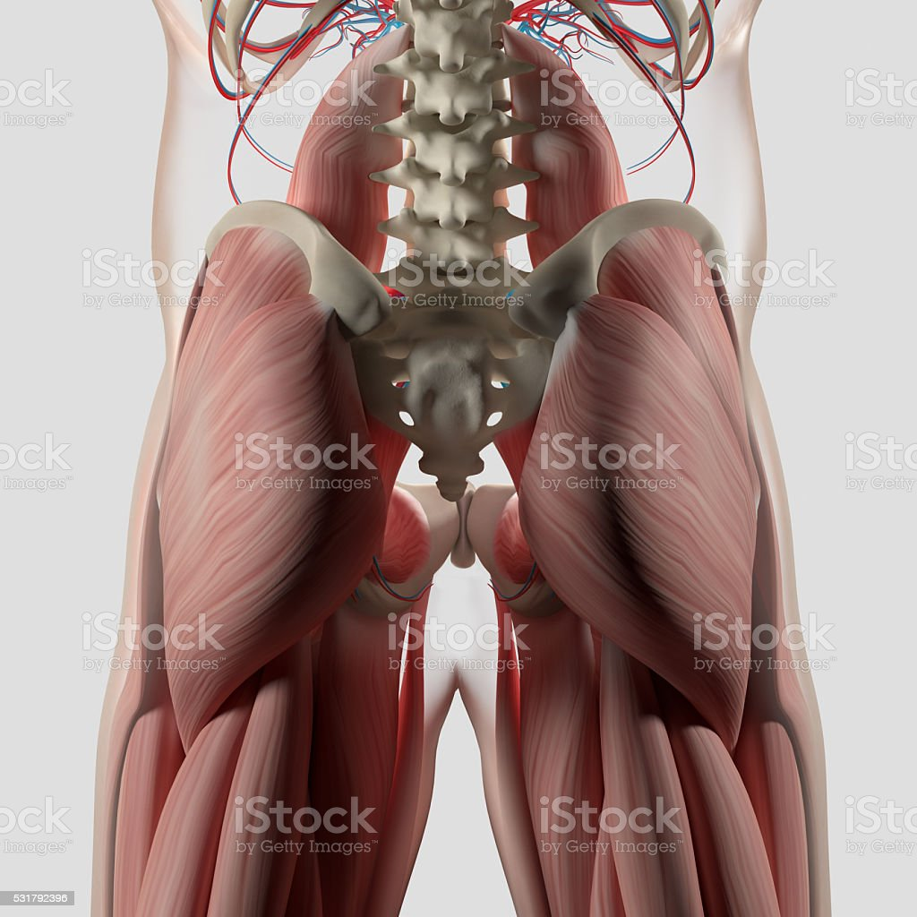 Human anatomy, spine, pelvis and gluteus maximus. stock photo