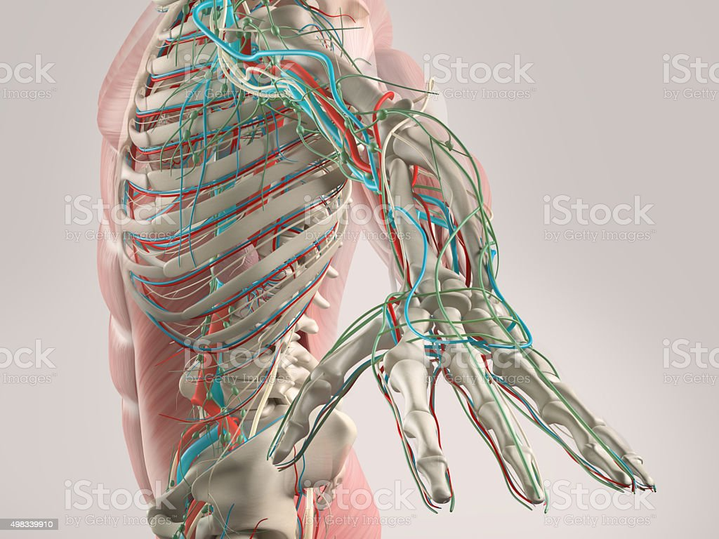 Human anatomy view of torso and arm. stock photo