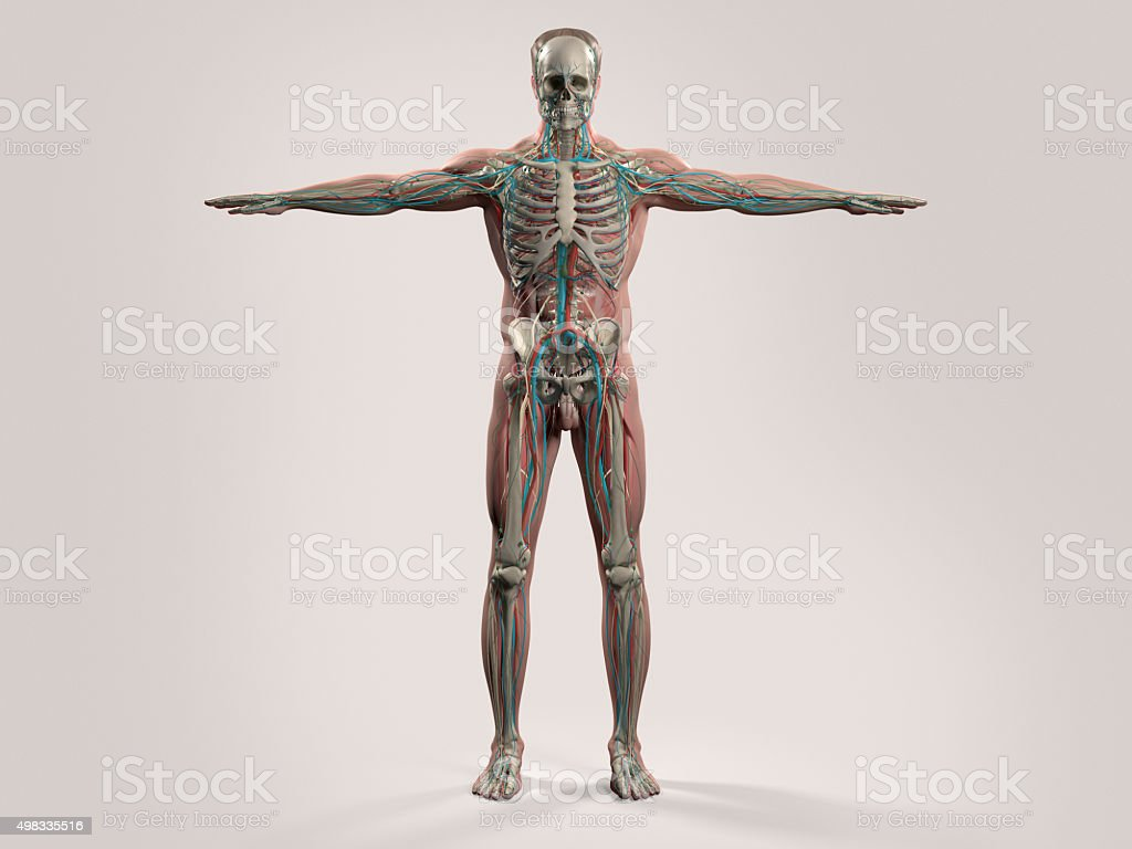Human anatomy with front view of full body. stock photo