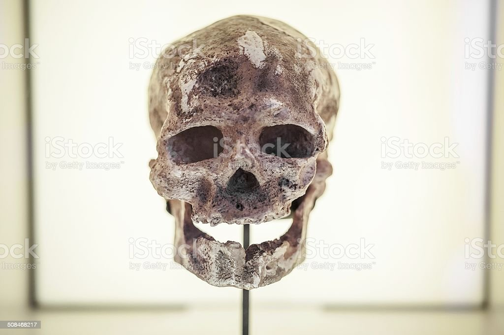 Human ancestor skull in showcase stock photo