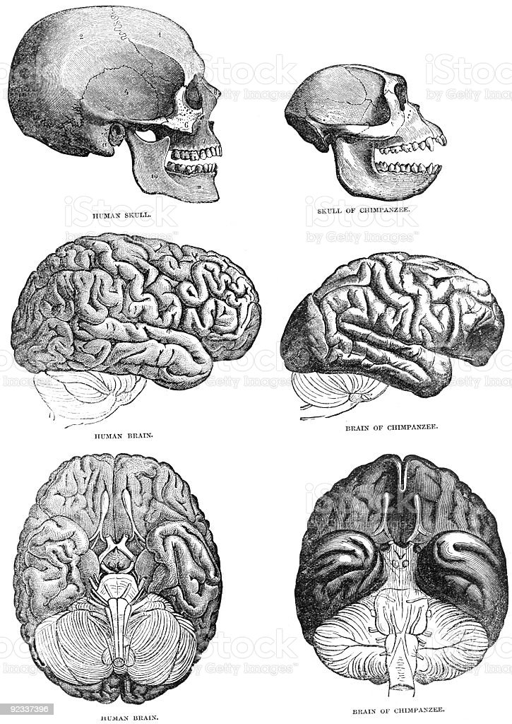 Human and Chimpazee Brain Comparison stock photo