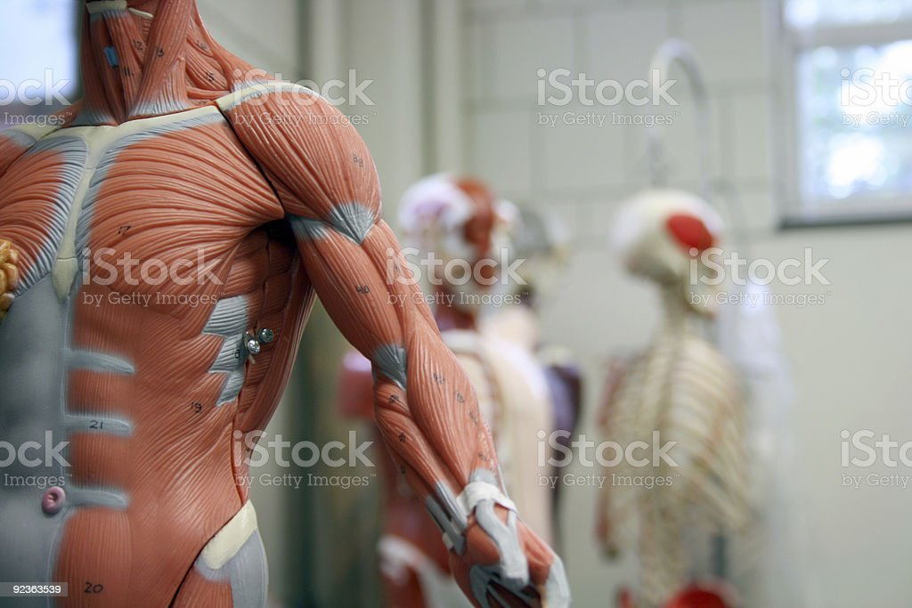 Human Arm and Torso of an Anatomical Model stock photo