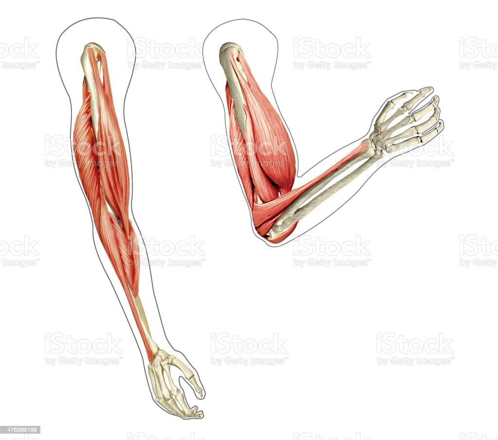 Human arms anatomy diagram, showing bones and muscles while flex stock photo