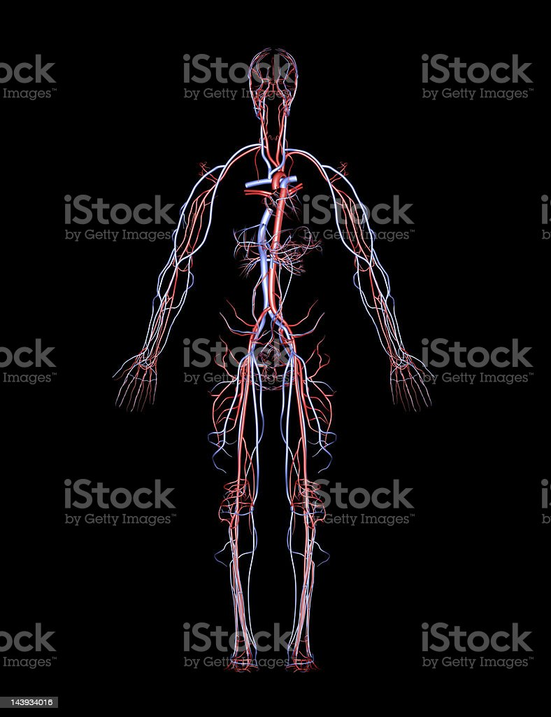Human Arteries and Veins royalty-free stock photo