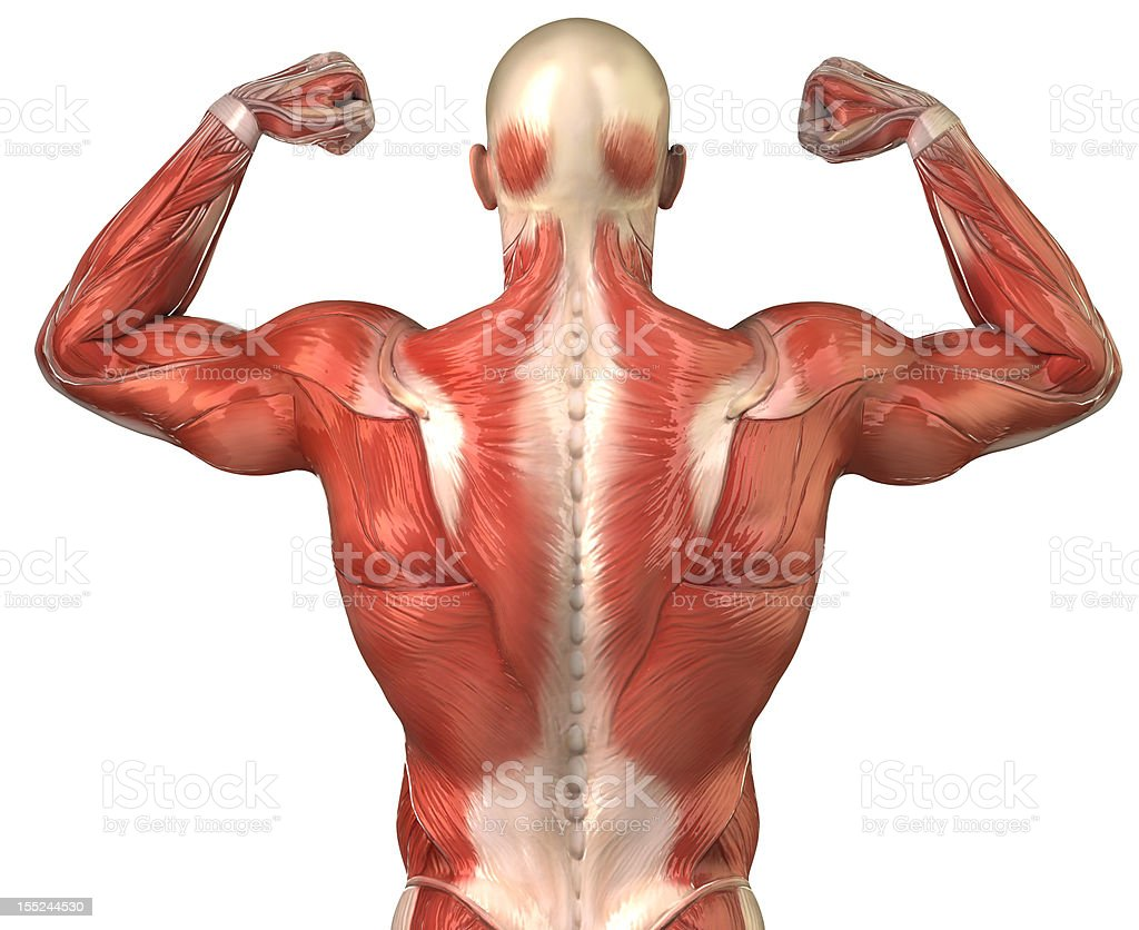 Human back muscular system posterior view isolated stock photo