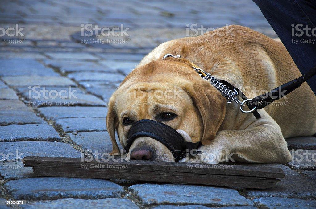 Human best friend - dog resting stock photo