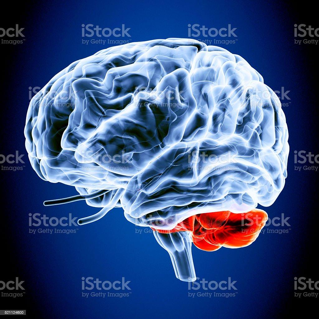 human body brain stock photo