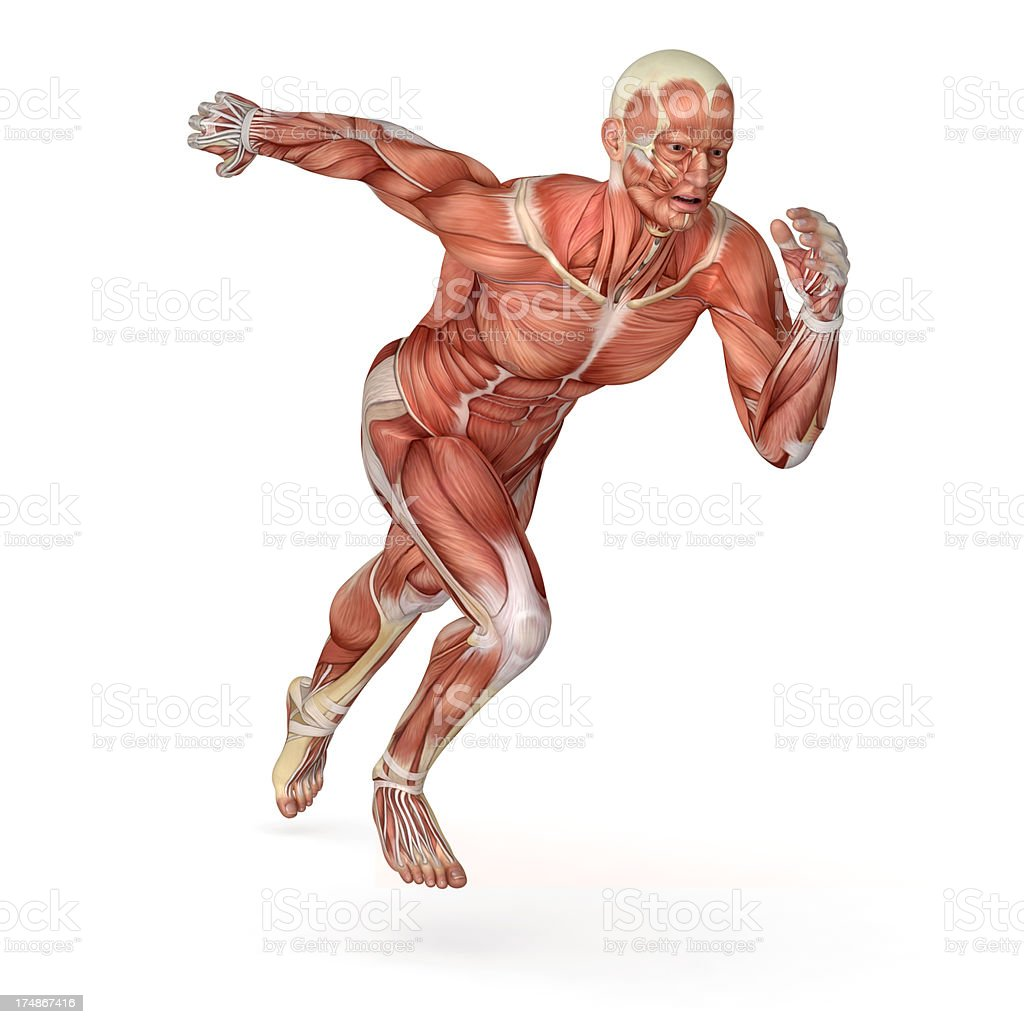Human body for study, showing the muscles while running stock photo