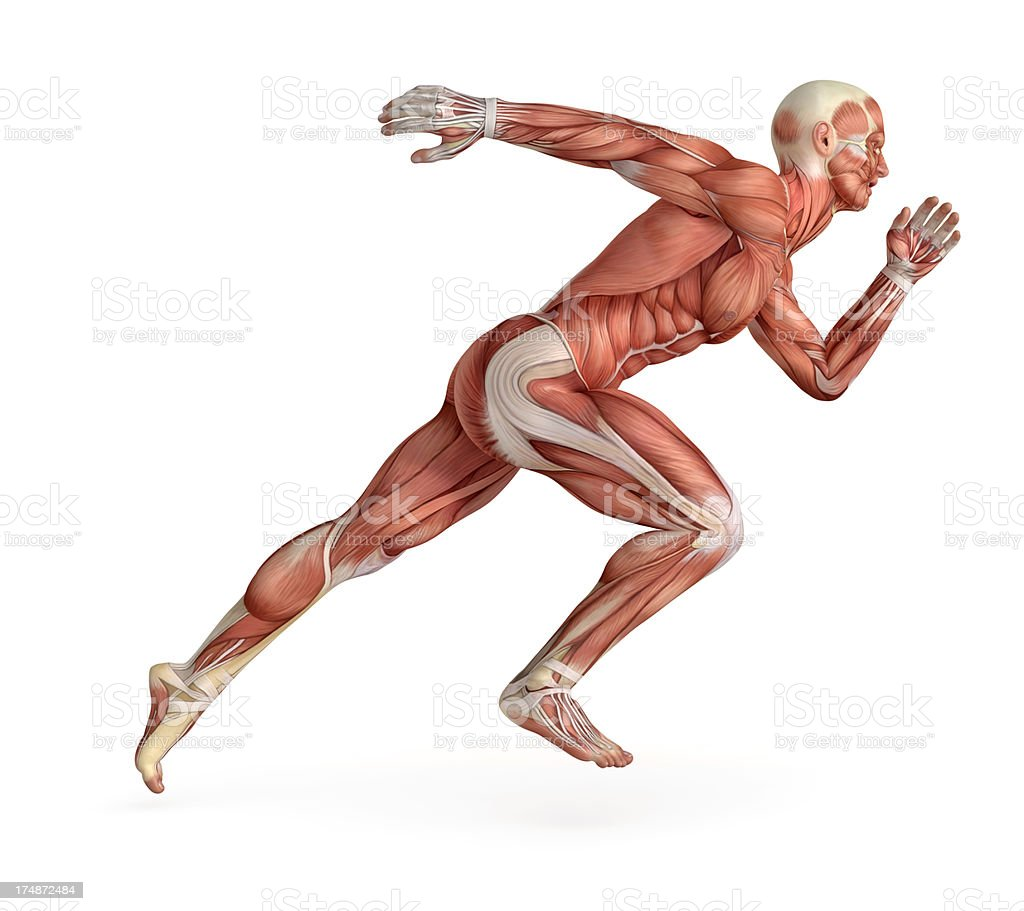 Human body for study, showing the muscles while running royalty-free stock photo