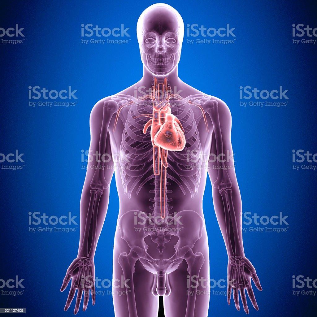 human body heart stock photo