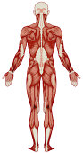Human body, muscles (bitmap)