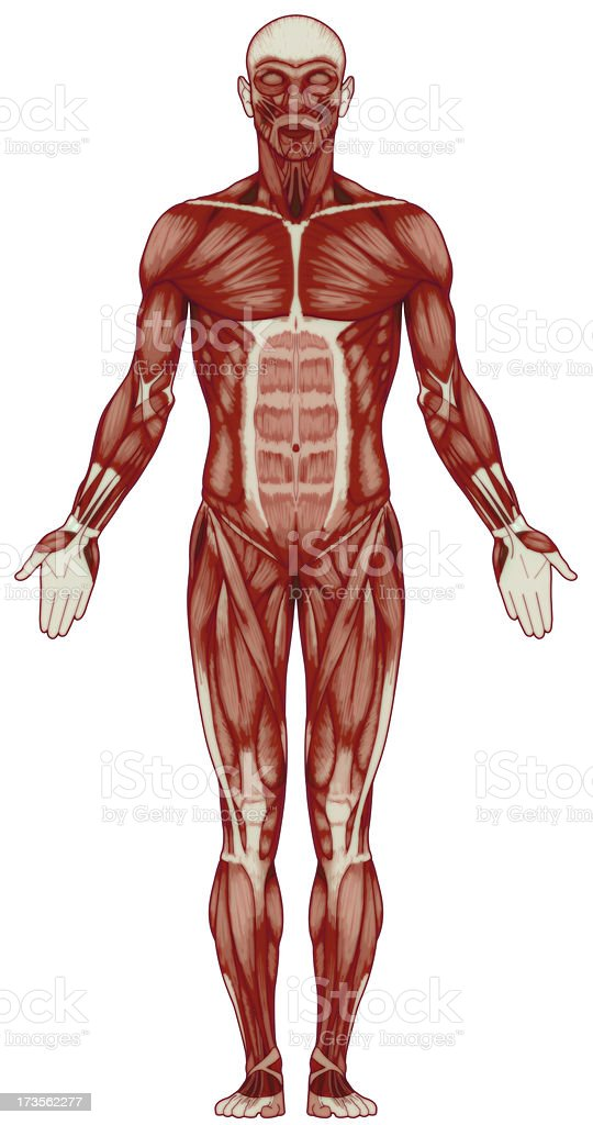 Human body, muscles (bitmap) royalty-free stock photo