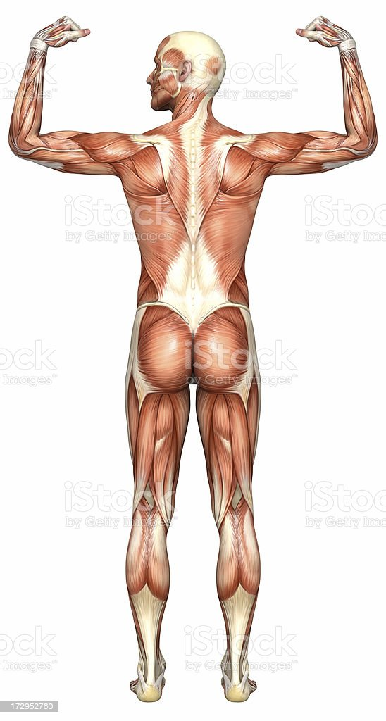 Human body of a man with muscles stock photo