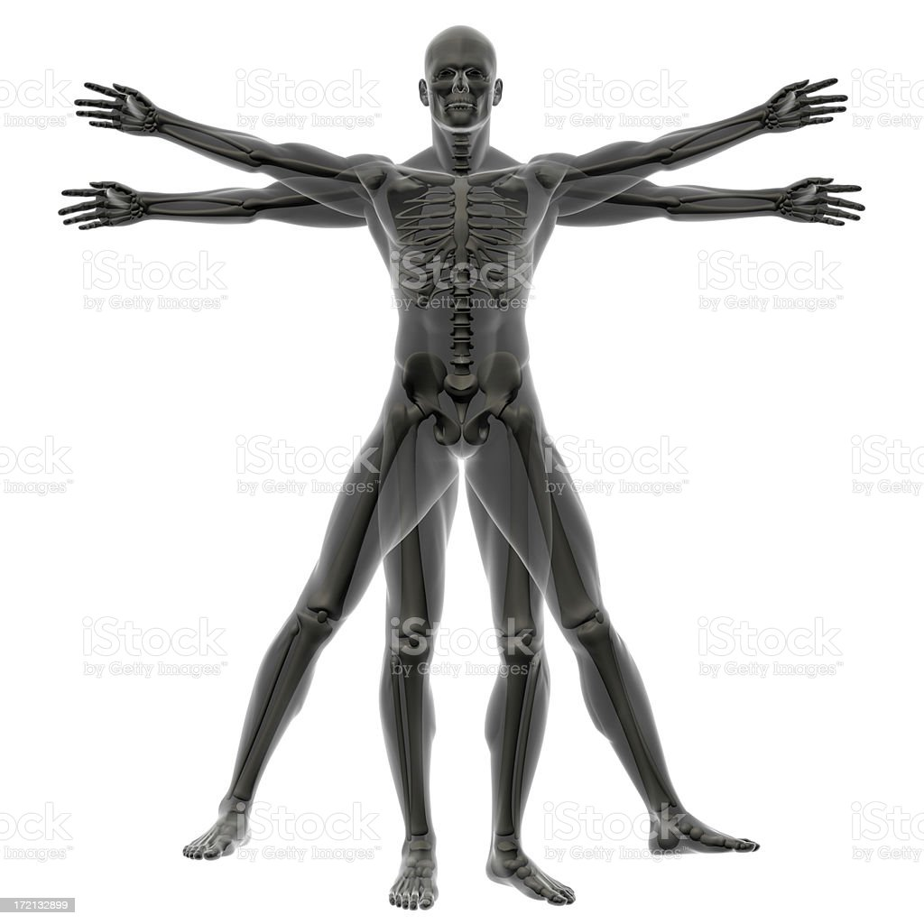 human body of a vitruvian man with skeleton for study stock photo, Muscles