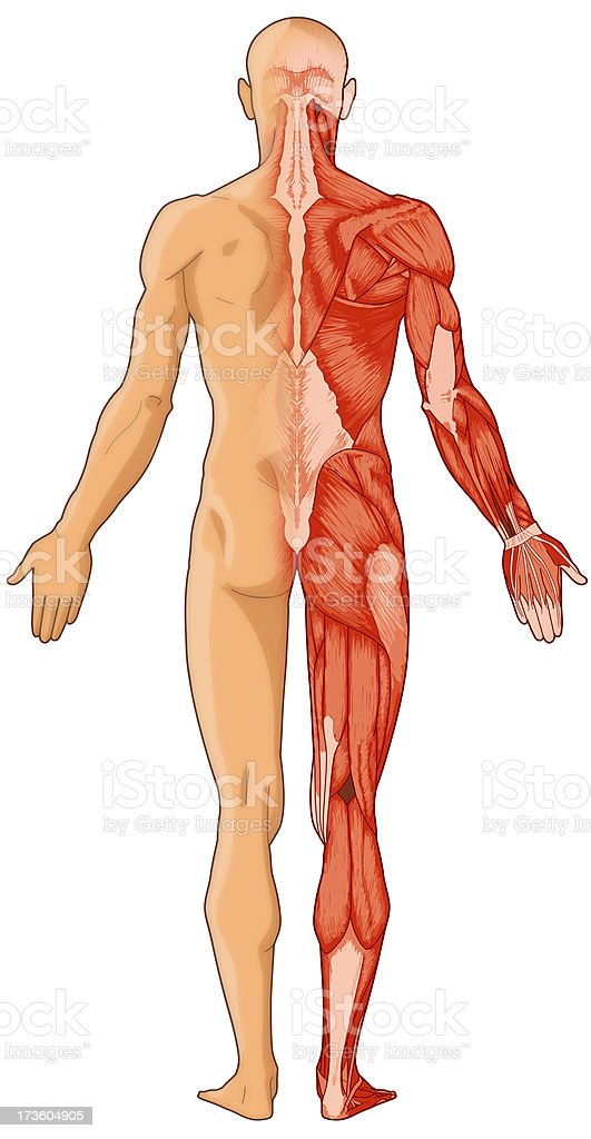 Human body, skin and muscles (bitmap) royalty-free stock photo