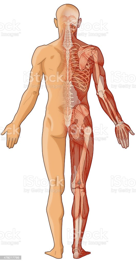 Human body, skin, muscles and bones (bitmap) royalty-free stock photo