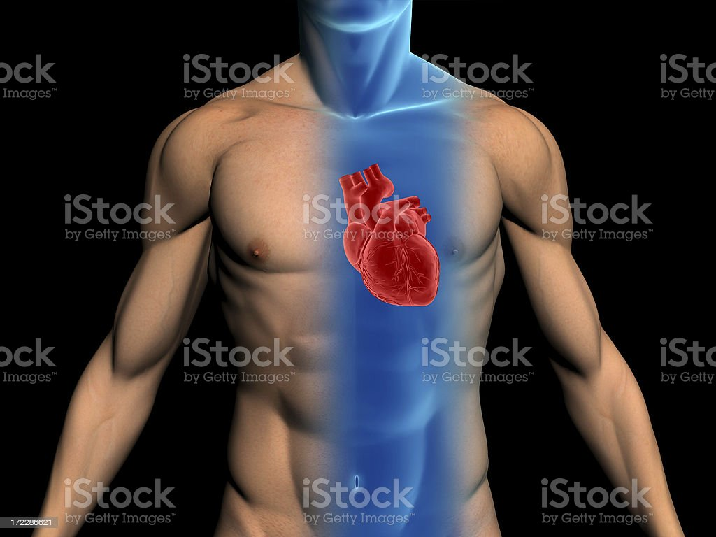 Human body with heart for medical study royalty-free stock photo