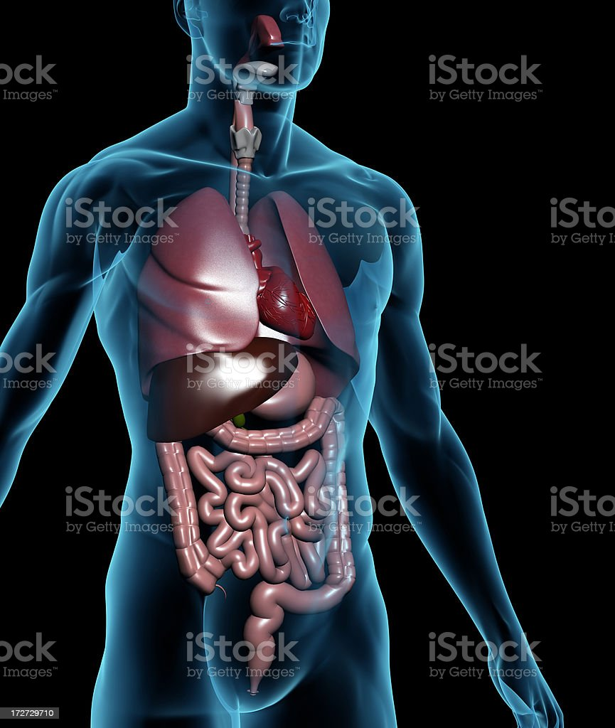 Human body with internal organs royalty-free stock photo
