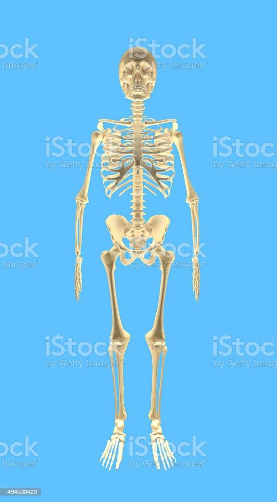 human bones front stock photo