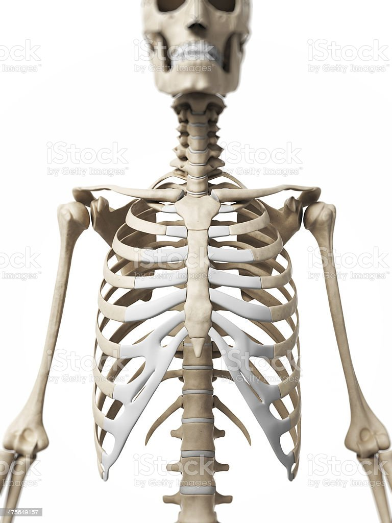 human bones - thorax royalty-free stock photo